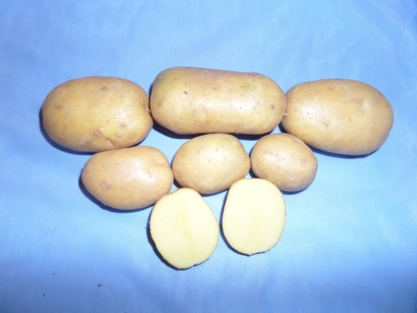 О картофеле крона: описание семенного сорта, характеристики, агротехника