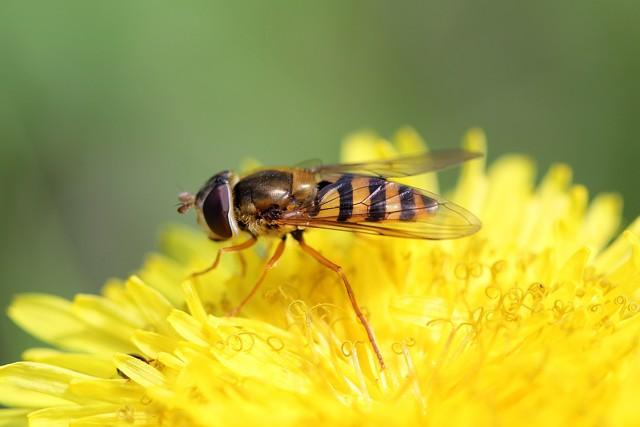 О мухе похожей на осу с длинным телом и жалом, личинки мухи пчеловидки