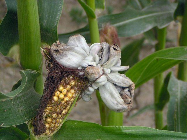 О посадке кукурузы в огороде: как правильно сажать, окучивать, выращивать