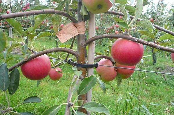 На какой год плодоносит яблоня после посадки, почему цветет но не плодоносит