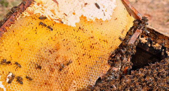 О нозематозе пчел: что это такое, симптомы и лечение, профилактика осенью