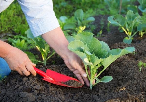 О посеве капусты: через сколько дней всходят семена после посадки
