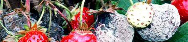 О методах борьбы с серой гнилью: чем обработать, чтобы клубника не гнила