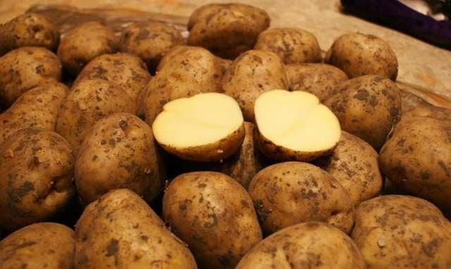 Лучшие сорта картофеля для черноземья, удмуртии, чувашии, татарстана