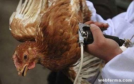 О лечении водянки у бройлеров и куриц, можно ли употреблять в пищу больную птицу