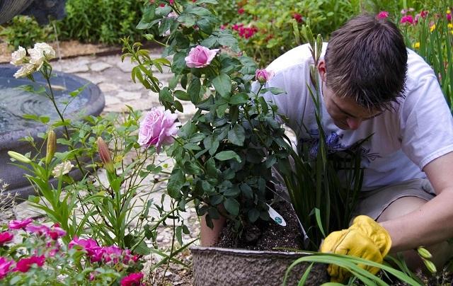 О подкормке роз после первого цветения: чем и как подкармливать, удобрять