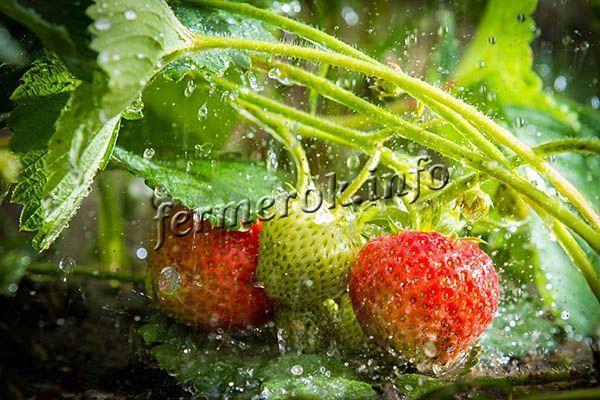 О клубнике сельва: описание ремонтантного сорта, агротехника выращивания