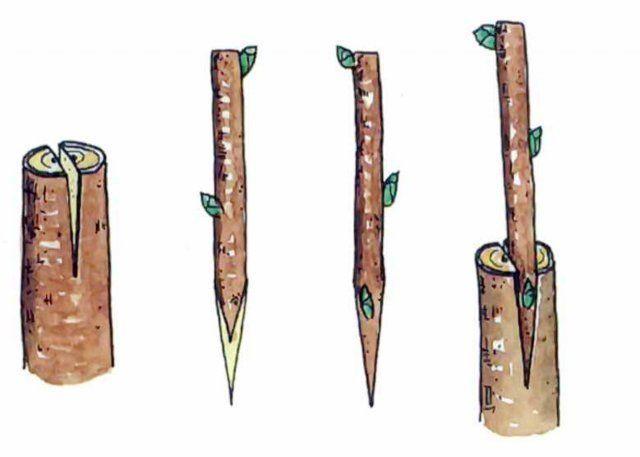 О выращивании георгин в открытом грунте: правила размножения растения