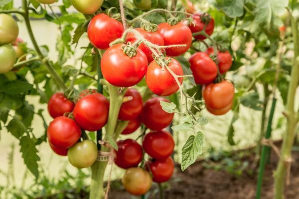 Линда: описание сорта томата, характеристики помидоров, посев