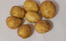 О картофеле лабелла: описание семенного сорта, характеристики, агротехника