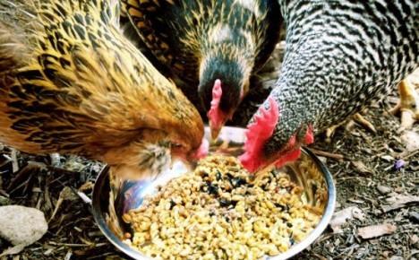 О поносе у кур несушек (причина): как лечить курицу, если у нее жидкий стул