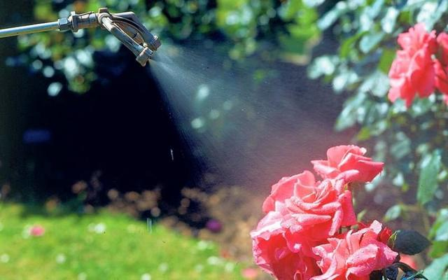 О подкормке роз во время цветения в открытом грунте: правила ухода, чем удобрять