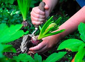О посадке и уходе за гиацинтом в открытом грунте, размножение, выращивание