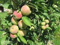 О лучших сортах колонновидных яблонь для кировской области, описание сортов