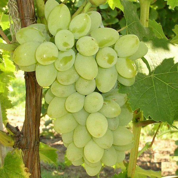Лучшие сорта винограда для средней полосы россии: винные, технические, сладкие