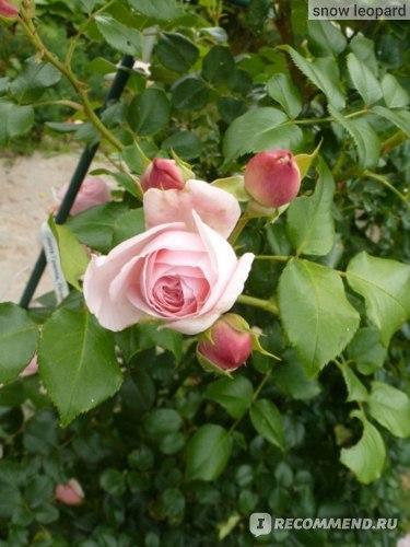 О розе giardina: описание и характеристики, выращивание сорта плетистой розы