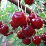 О сортах вишни: капелька, горьковский, модница, растунья, майская