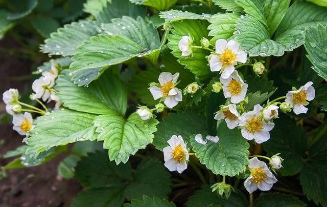 О клубнике богота: описание сорта, агротехника посадки и выращивания