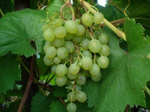 О винограде коринка русская: описание и характеристики сорта, посадка и уход