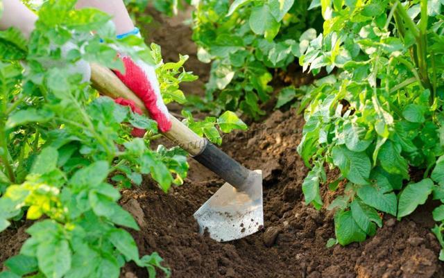 Лапоть: описание семенного сорта картофеля, характеристики, агротехника
