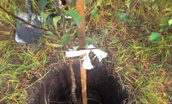 О груше феерия: описание и характеристики сорта, посадка, уход, выращивание