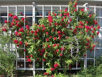 О подвязке плетистой розы: как правильно подвязать к опоре, арка своими руками
