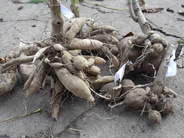 О посадке георгинов многолетних: как сажать в открытый грунт, когда пересаживать