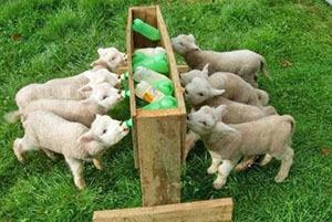 О разведении коз: в домашних условиях для начинающих, как разводить на мясо