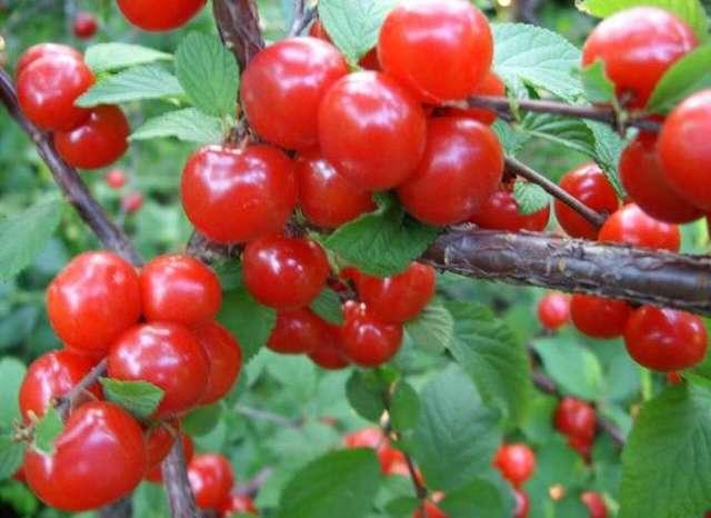 О войлочной вишне: как сажать, описание правил ухода и размножения, плодоношение культуры