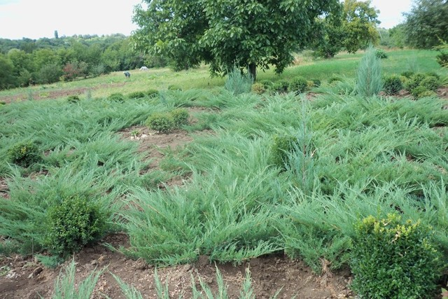 О можжевельнике казацком: описание сорта, как посадить и выращивать