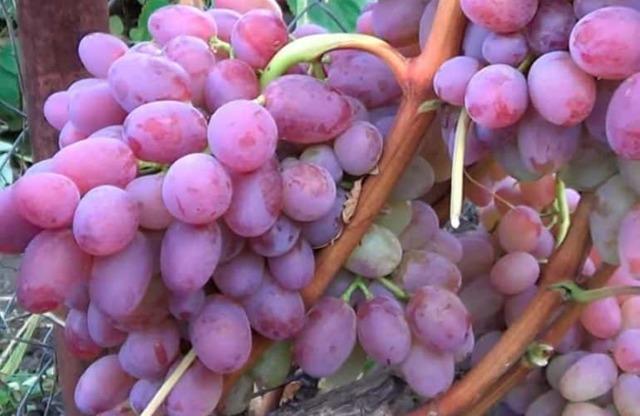 О винограде гелиос: описание и характеристики сорта, посадка и уход