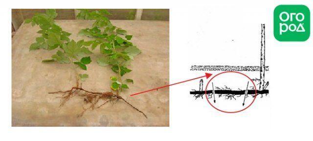 Как размножить малину: черенками, отпрысками, делением куста