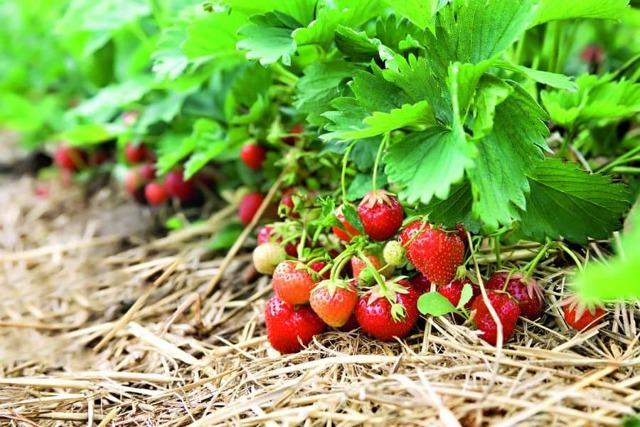 О клубнике флоренс: описание сорта, агротехника посадки и выращивания