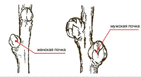 О крушиновидной облепихе: описание и характеристика, основные отличия