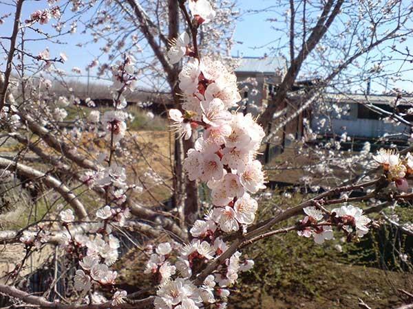 О подкормке абрикоса весной и летом: часто ли поливать, чем удобрять