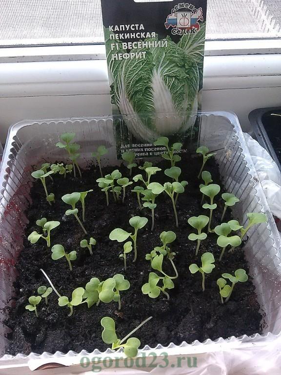 О выращивании пекинской капусты в домашних условиях, как правильно выращивать