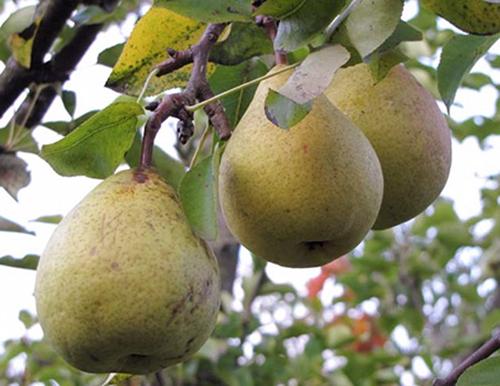 О лучших сортах груши для подмосковья: какой саженец лучше посадить
