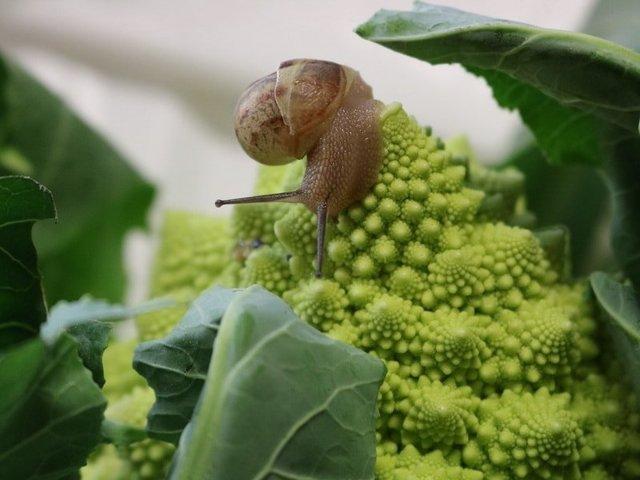 О капусте романеско: описание и характеристика гибридного сорта, выращивание