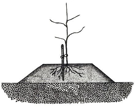 О сливе кубанская комета: описание сортов, агротехника выращивания