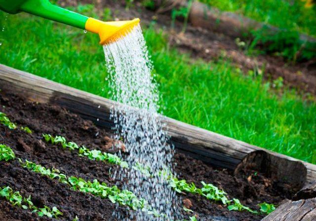 О выращивании пекинской капусты: основы и секреты хорошего урожая