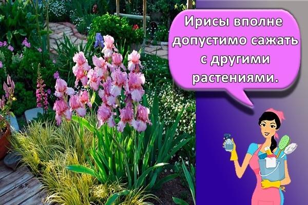 О клумбе с ирисами (ландшафтный дизайн): сочетание ирисов с другими цветами
