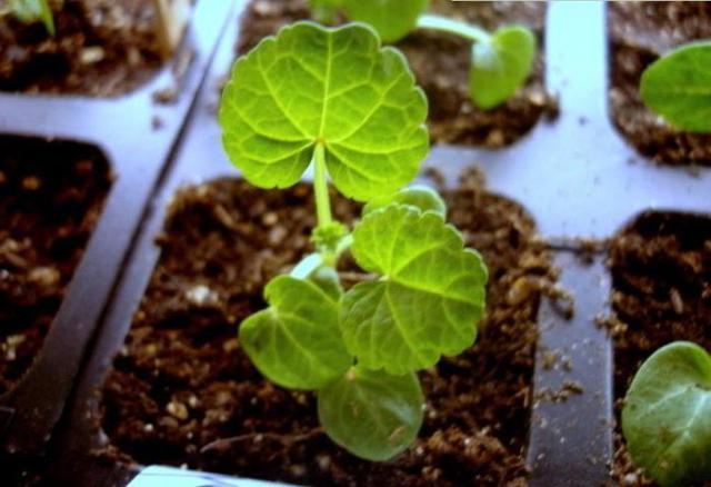 О посадке в открытый грунт и уходе за мальвой многолетней, выращивание