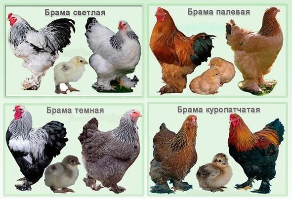 О породе кур брама: описание и характеристика, яйценоскость, уход и кормление