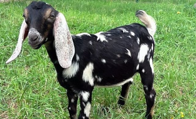 О нубийской козе: описание породы, содержание и уход, характеристика