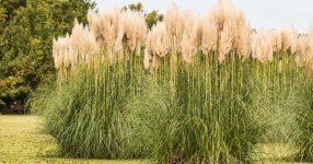 О мискантусе китайском: описание растения, как посадить и выращивать