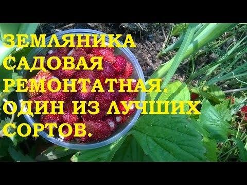 О лучших сортах земляники садовой, луговой, крупноплодной, ремонтантой