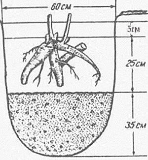 О пионе травянистом: описание и характеристики сортов, посадка и уход