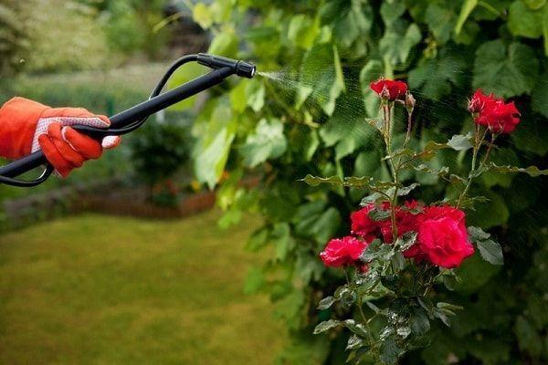 О подкормке роз во время бутонизации и цветения: виды удобрений, правила