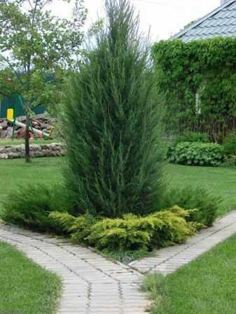 О применении можжевельника в украшении сада: композиции, клумбы и живые изгороди