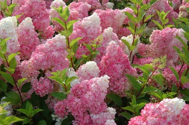 О подкормке гортензий летом для пышного роста и цветения: чем удобрять